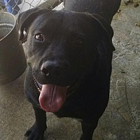 Pit Bull Terrier/Labrador Retriever Mix Dog for adoption in Ringoes, New Jersey - Rocky