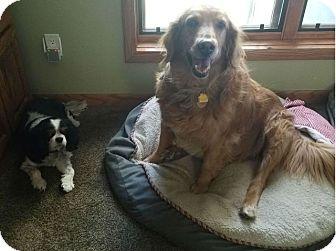 King Charles Spaniel Mix Dog for adoption in Denver, Colorado - Isabella