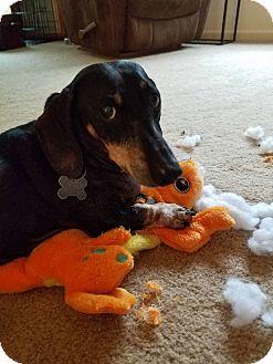 Dachshund Dog for adoption in Decatur, Georgia - Bowie