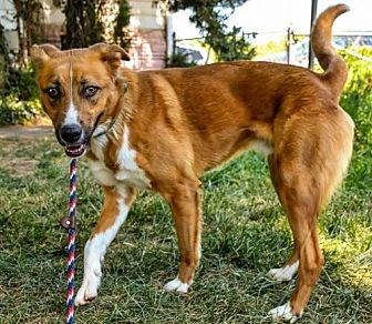 German Shepherd Dog Mix Dog for adoption in Denver, Colorado - Ferb aka: Butter