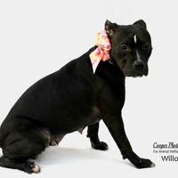 Adopt A Pet :: Willow - Port Charlotte, FL