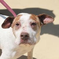 Bull Terrier Mix Dog for adoption in Russellville, Kentucky - Logan
