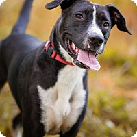 Adopt A Pet :: Gentry - Sherman, CT
