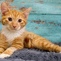 Domestic Shorthair Kitten for adoption in Alpharetta, Georgia - Arlyn