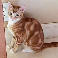 Adopt A Pet :: Simba - Mission Viejo, CA