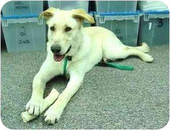 Labrador Retriever/Shepherd (Unknown Type) Mix Dog for adoption in Lake Odessa, Michigan - Zyah