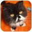 Photo 1 - Persian Cat for adoption in Beverly Hills, California - Picasso