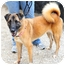 Photo 3 - Akita/German Shepherd Dog Mix Dog for adoption in Boynton Beach, Florida - Sadie