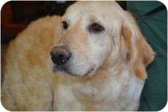 Golden Retriever Dog for adoption in Roanoke, Virginia - Lady