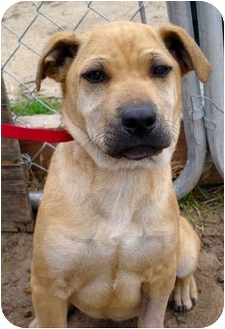 Shar Pei/Shepherd (Unknown Type) Mix Puppy for adoption in Bakersfield, California - Brody