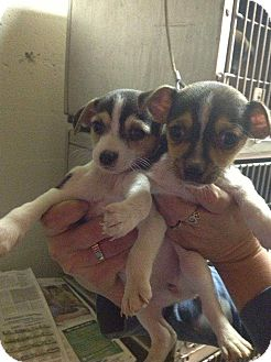 Chihuahua/Toy Fox Terrier Mix Puppy for adoption in Lancaster, Ohio - Rugrats
