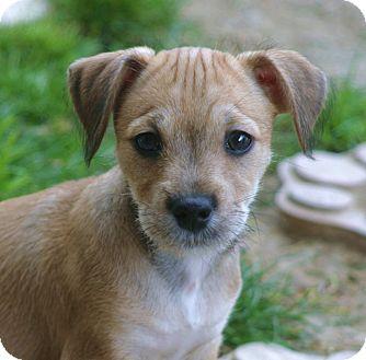 Dachshund/Schnauzer (Miniature) Mix Puppy for adoption in Santa Ana, California - Poblano