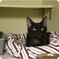 Adopt A Pet :: Booda Girl - Lombard, IL