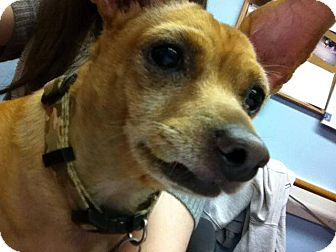 Chihuahua/Miniature Pinscher Mix Dog for adoption in Chisholm, Minnesota - Nuzzy