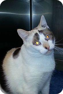 Siamese Cat for adoption in Turlock, California - Johanna