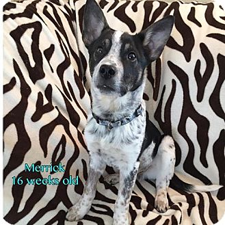 Australian Cattle Dog Mix Puppy for adoption in Plainfield, Illinois - Merrick