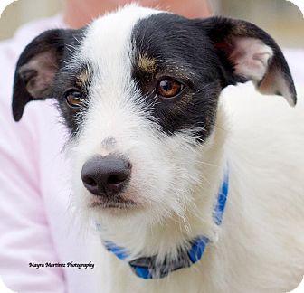 Jack Russell Terrier Mix Dog for adoption in Marietta, Georgia - Bonnie