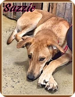 German Shepherd Dog/Labrador Retriever Mix Puppy for adoption in Ahoskie, North Carolina - Suzzie