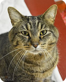 Domestic Shorthair Cat for adoption in Springfield, Illinois - Maxine