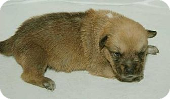 Labrador Retriever Mix Puppy for adoption in Libertyville, Illinois - Violet