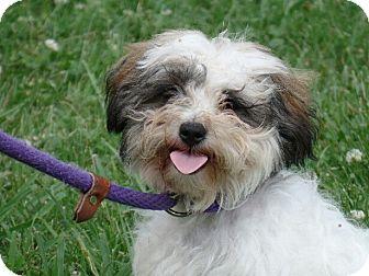 Maltese/Shih Tzu Mix Puppy for adoption in Great Falls, Virginia - Chloe