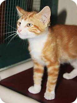 Domestic Shorthair Kitten for adoption in Grinnell, Iowa - Dewey