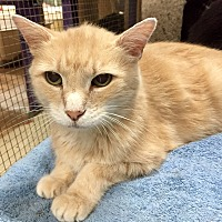 Domestic Shorthair Cat for adoption in Wilmington, Delaware - Cinnamon