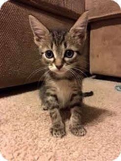 Domestic Shorthair Kitten for adoption in Columbia, Illinois - Brave