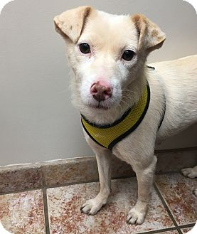 Terrier (Unknown Type, Small) Mix Dog for adoption in Sherman Oaks, California - Sunny