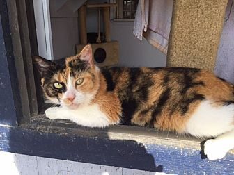 Calico Cat for adoption in Porter, Texas - Yvette