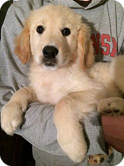 Golden Retriever/Great Pyrenees Mix Puppy for adoption in SOUTHINGTON, Connecticut - Abigail