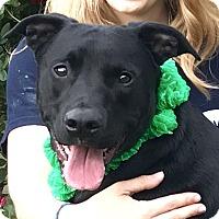 Boxer/Labrador Retriever Mix Dog for adoption in Evansville, Indiana - Maverick