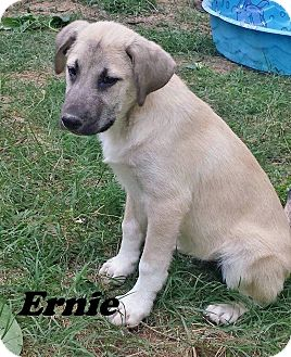 Shepherd (Unknown Type) Mix Puppy for adoption in East Hartford, Connecticut - Ernie meet me 6/2