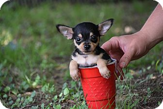 Yorkie, Yorkshire Terrier/Chihuahua Mix Puppy for adoption in Groton, Massachusetts - Topper
