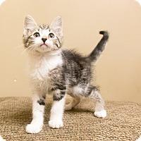 Adopt A Pet :: Amalfi - Chicago, IL