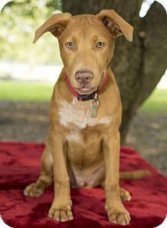 Chesapeake Bay Retriever/Rhodesian Ridgeback Mix Puppy for adoption in Santa Fe, Texas - Little Joe-- Sweet pup !--N