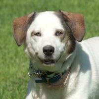 Adopt A Pet :: Rowdy 2 *Foster & Graduate* - Glen Allen, VA