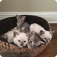 Adopt A Pet :: Smokey - Flower Mound, TX