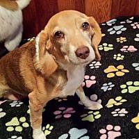 Adopt A Pet :: Pixie - Wilmington, DE