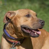 Adopt A Pet :: Charlie - Ashland, VA