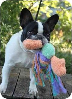 French Bulldog Dog for adoption in Wichita, Kansas - Truffles