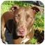 Photo 3 - Labrador Retriever/American Pit Bull Terrier Mix Dog for adoption in Berkeley, California - Charlotte