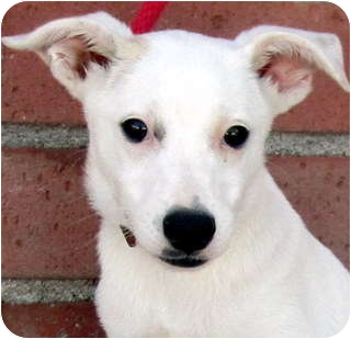 Jack Russell Terrier Mix Puppy for adoption in Los Angeles, California - Luna