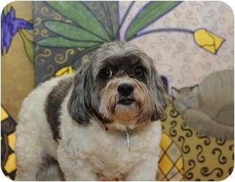 Shih Tzu Mix Dog for adoption in Dallas, Texas - Sassy