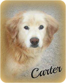 Golden Retriever Mix Dog for adoption in Cannelton, Indiana - Carter