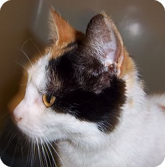 Domestic Shorthair Cat for adoption in South Haven, Michigan - Laila