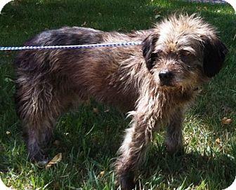 "Cairn Terrier/Schnauzer (Miniature) Mix Dog for adoption in Oswego, Illinois - Benjamin Button Nose ""Benji"""