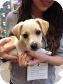 Terrier (Unknown Type, Small) Mix Puppy for adoption in Modesto, California - Dallas