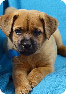 German Shepherd Dog/Retriever (Unknown Type) Mix Puppy for adoption in Minneapolis, Minnesota - Garrett