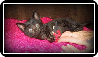 Domestic Longhair Cat for adoption in Medford, Wisconsin - CHEWY